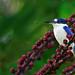 Forest Kingfisher (Todiramphus macleayii) by audiodam