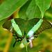 Emerald Swallowtail - Papilio palinurus