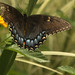 The tattered and torn black swallowtail has landed and is still beautiful by Carol (Nona)
