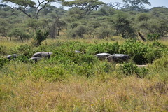 Hippos from a distance, the Serengeti