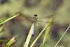 Pachydiplax longipennis (Blue Dasher Dragonfly) 3