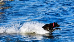 Jet powered lab chased down toy in surf at Mitchell cove beach Santa Cruz.  #labrador #dog #doginwater #d500 #nikon #500mm #instagram