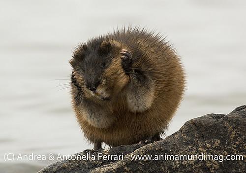 reefwondersdotnet posted a photo:Muskrat Ondatra zibethicus, Nunavik, Northern Quebec, Canada