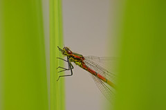 Large red damselfly 300514 2790