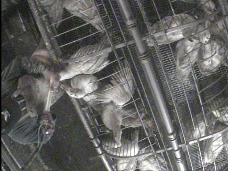 Investigación en granja que suministra a Euralis, mayor productor de foie gras del mundo