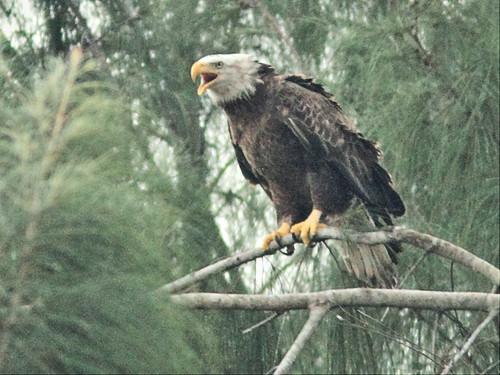 Bald Eagle female calling 20141207