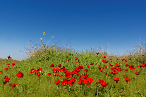 travel flowers blue winter red people green grass israel sony negev anemones fura minolta2485mm sonya77 furareservation