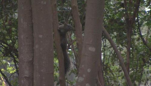 縣府打算抑制松鼠族群的數量