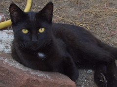 animal, small to medium-sized cats, pet, black cat, fauna, bombay, cat, carnivoran, whiskers, domestic short-haired cat,