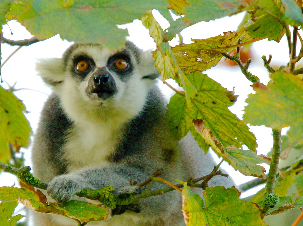 Ring-tailed Lemur (Lemur catta)_107