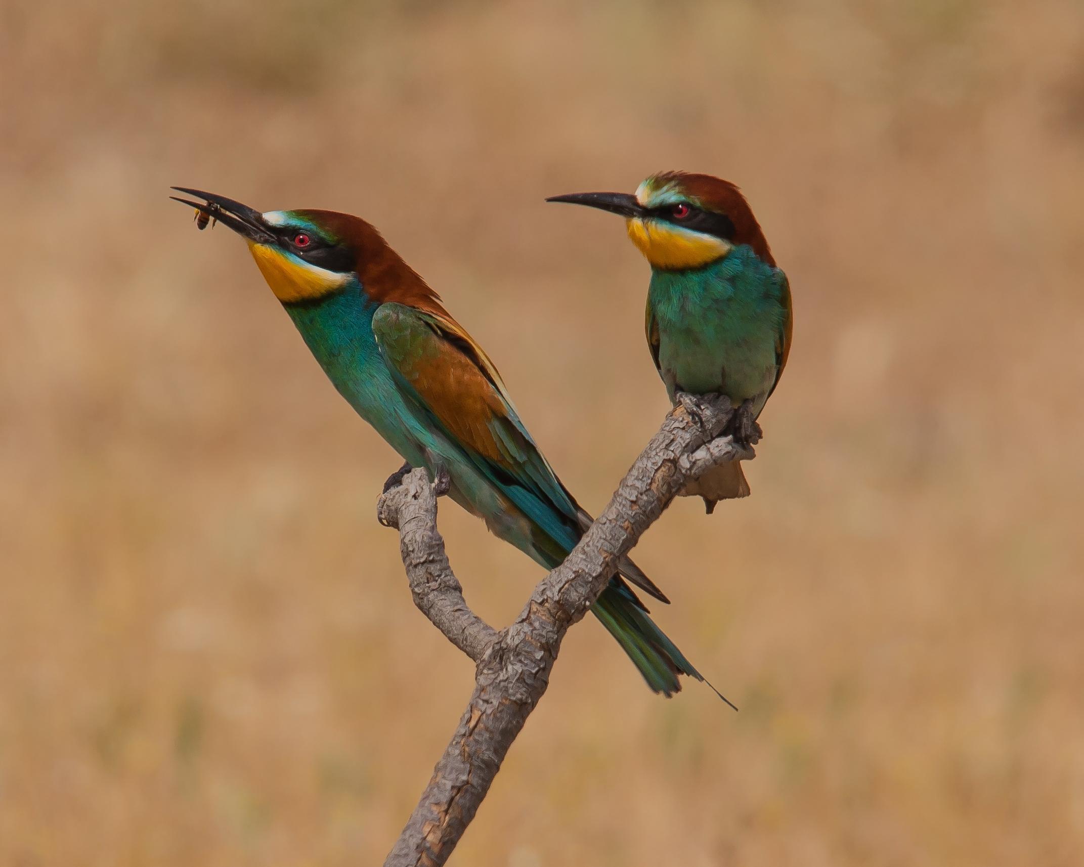 European Bee-eater merops apiaster near Tiskanias River estuary Lesvos 11/05/10