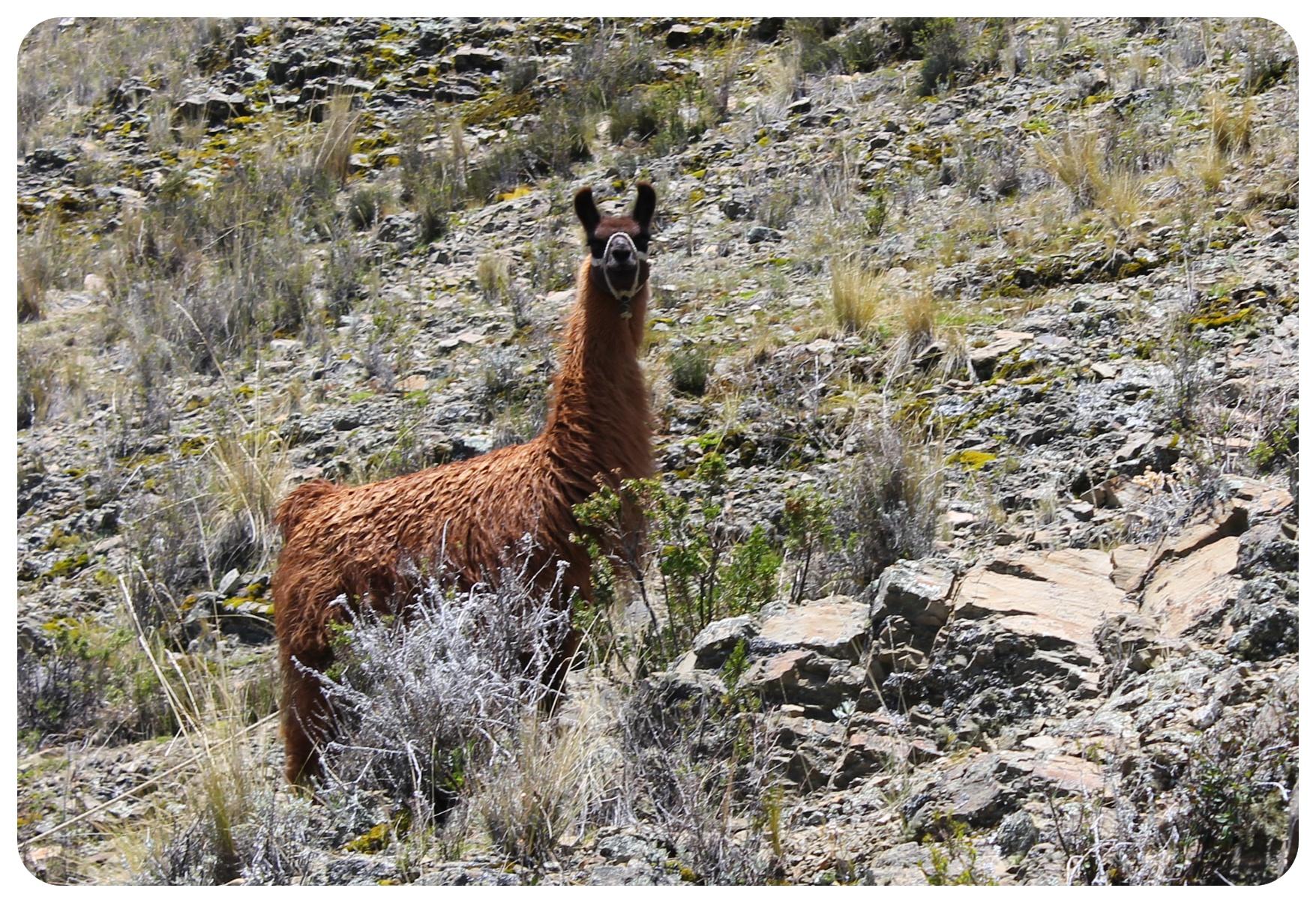 lake titicaca llama