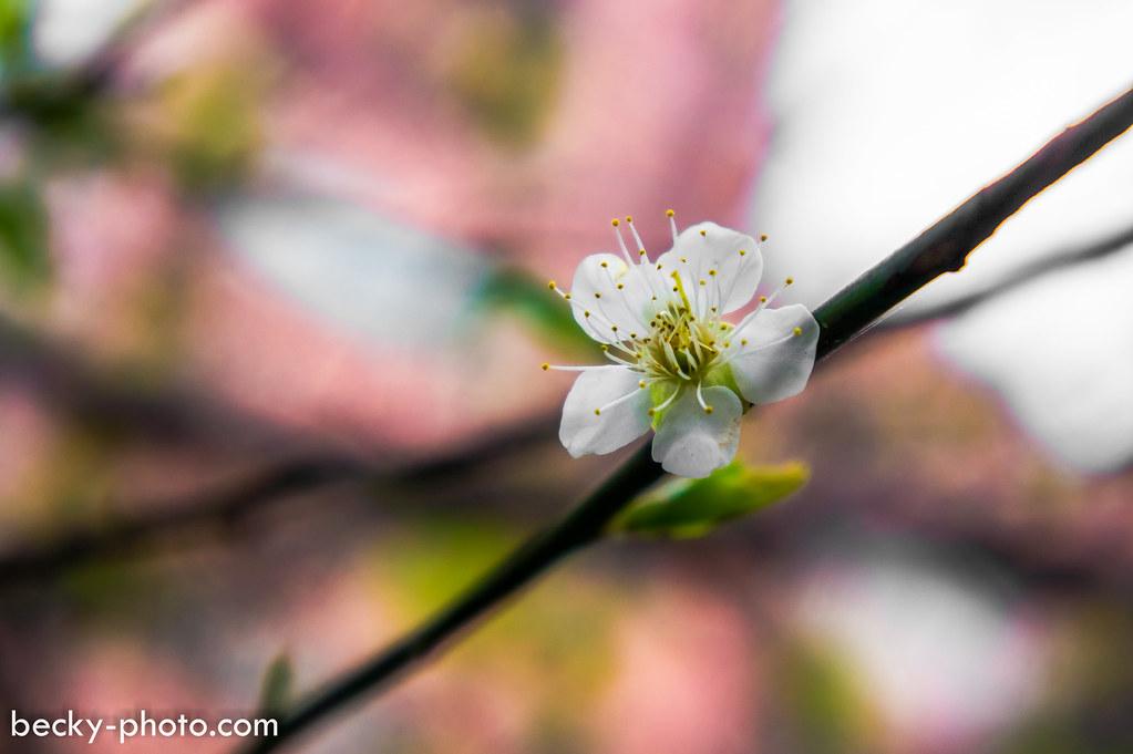 2015.Jan sakura & plum