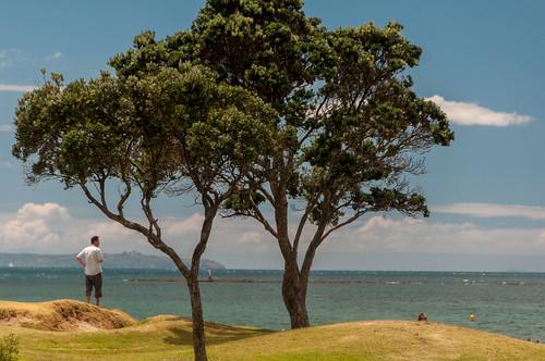 newzealand summer tree beach bay view auckland browns nz pohutukawa