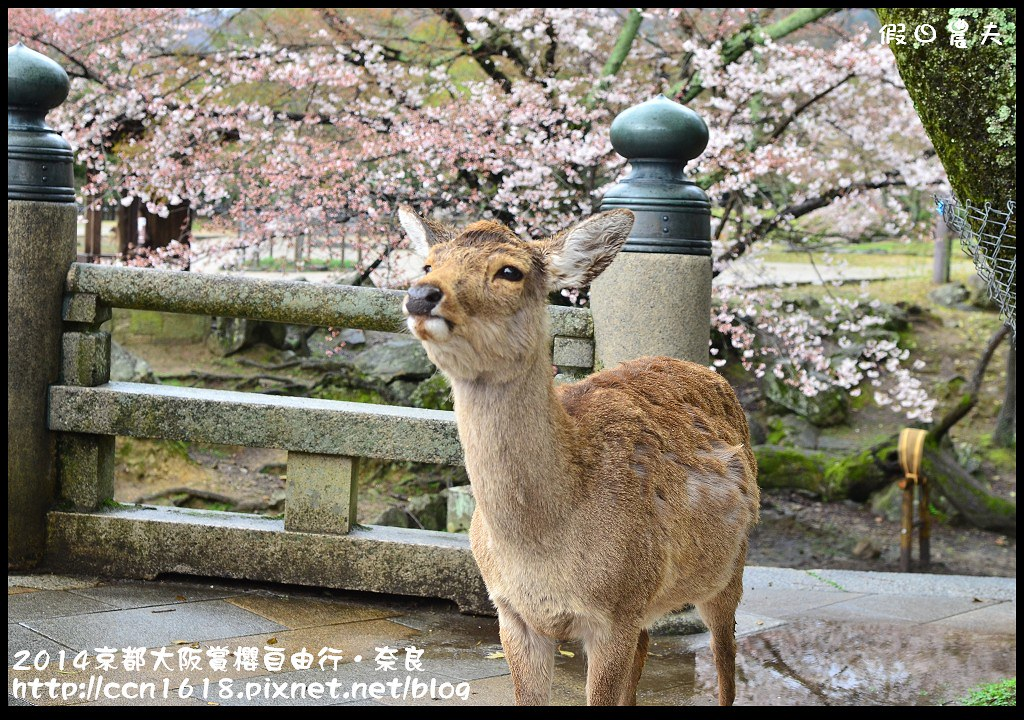 2014京都大阪賞櫻自由行.奈良DSC_1020