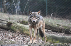 animal, gray wolf, red wolf, mammal, jackal, fauna, wolfdog, saarloos wolfdog, coyote,