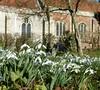 Churchyard Snowdrops 2