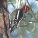 Red-naped x Red-breasted Sapsucker - Granite Basin Lake, Prescott, AZ