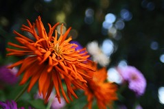 orange cactus dahlia