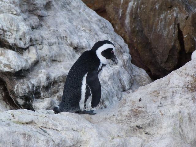 Pingüino en Stony Point (Sudáfrica)