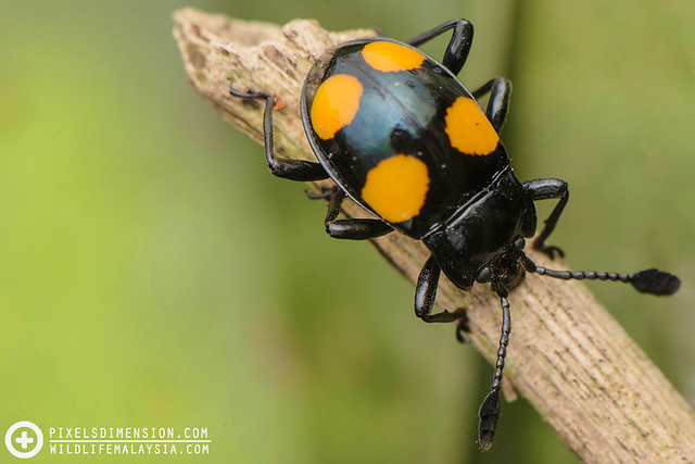 A Four-spotted Fungus Beetle (Erotylidae)