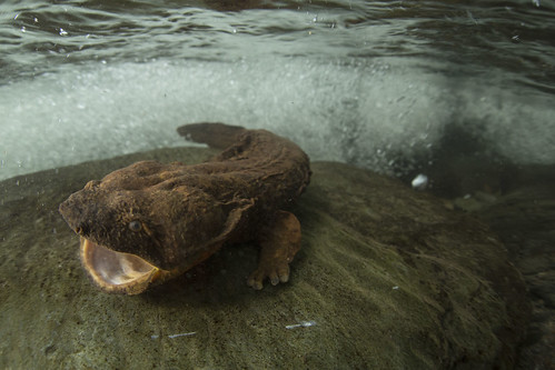 The Eastern hellbender is the largest salamander in North America, reaching lengths of up to 24 inches.  Hellbenders need clean streams with high water quality and silt-free streambeds to find their prey and avoid predators.  (Copyright photo courtesy Freshwaters Illustrated/Dave Herasimtschuk)