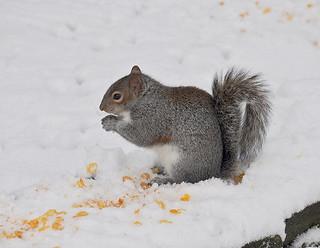 Gray Squirrel by Martin Pettitt
