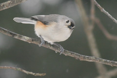 titmouse IMG_1504a
