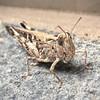 Australian plague locust - Chortoicetes terminifera - Barton - ACT - Australia - 20150301 @ 07:40