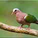 Emerald Dove by Aravind Venkatraman