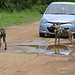 Small photo of Wild Dogs (Lycaon pictus) entairtaining tourists