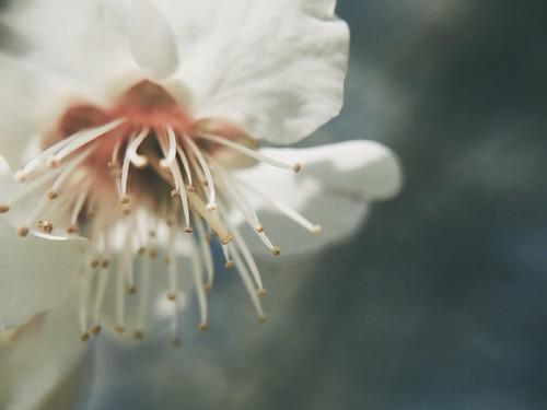 Japanese plum blossom UME