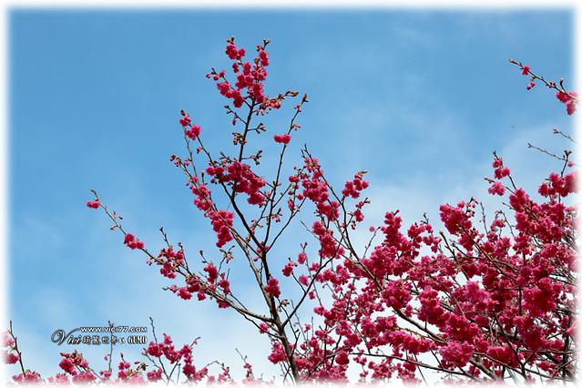 0202陽明山花卉008
