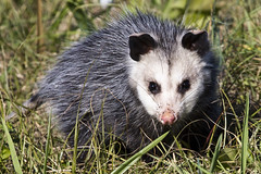 viverridae(0.0), procyon(0.0), animal(1.0), opossum(1.0), virginia opossum(1.0), common opossum(1.0), mammal(1.0), fauna(1.0), whiskers(1.0), wildlife(1.0),