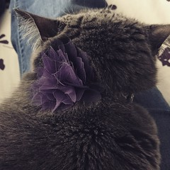 Kitteh has a flower bow. Thought she'd rebel but it am doesn't bother her at all.