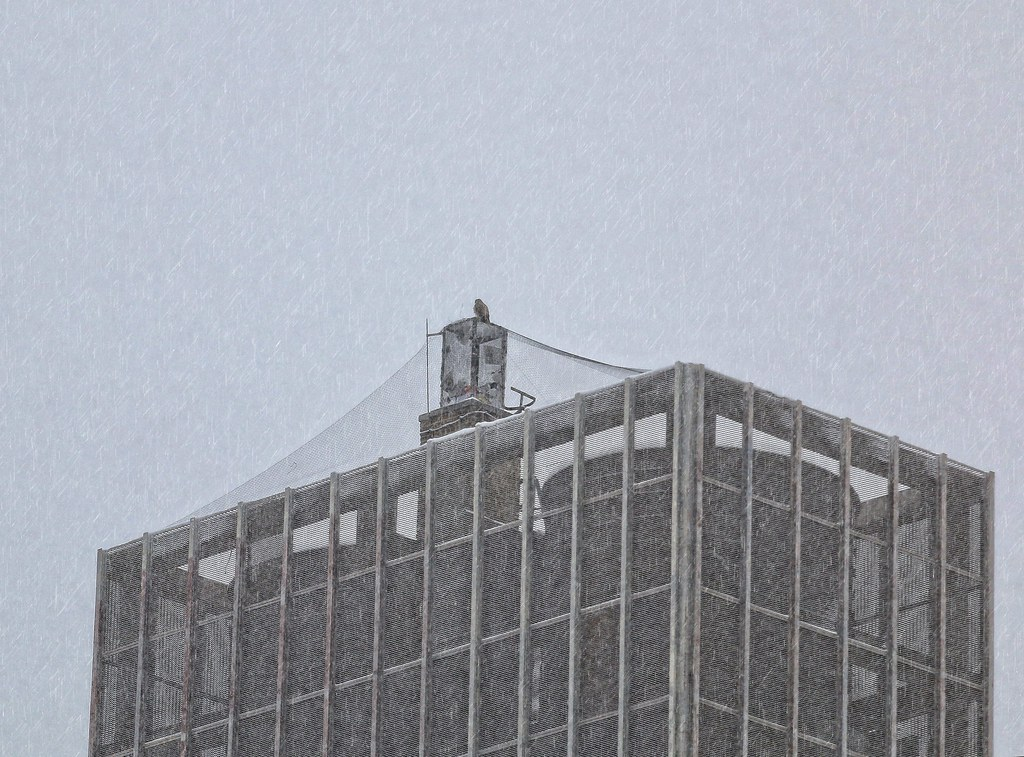 Hawk atop Village View during a snowstorm