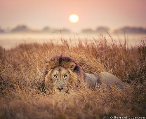 lion zambia africansunrise