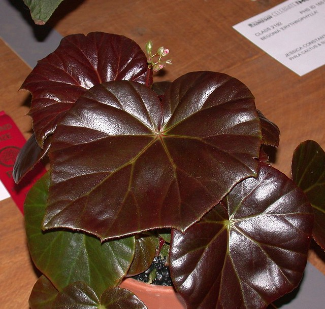 Begonia 'Red Fred' (flash)