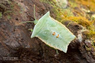 Giant shield bug (Tessaratomidae) - DSC_4153