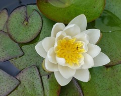 Tiny fly sits on a water lily
