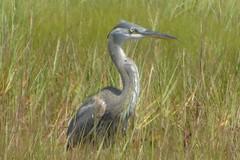 ibises & Herons