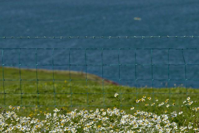 Square Fence Daisy Friday.