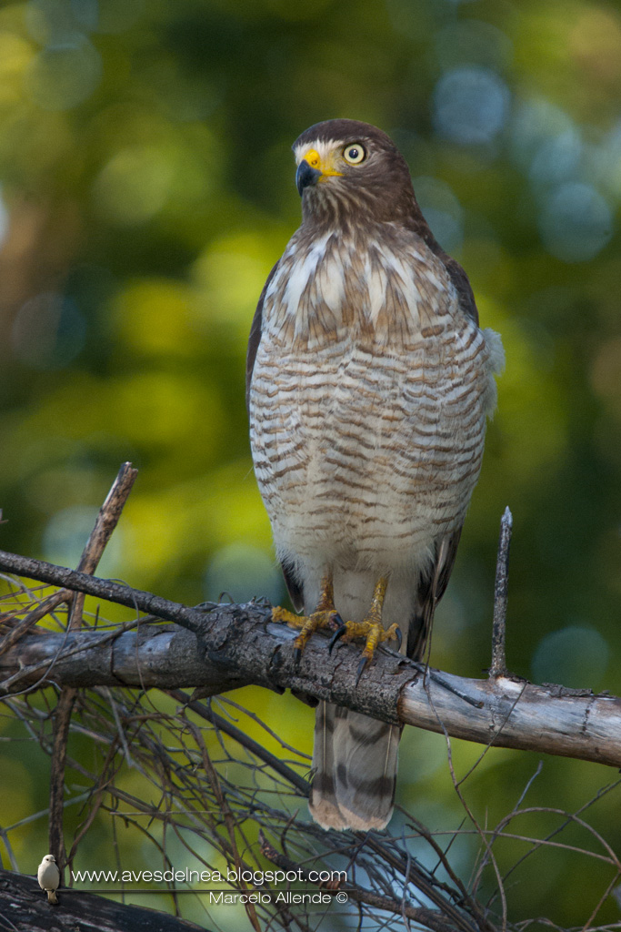 Taguató común (Roadside Hawk) Rupornis magnirostris