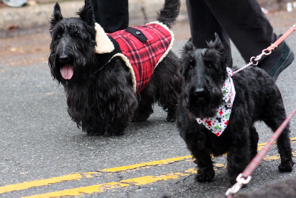 Scottish Parade Scotties