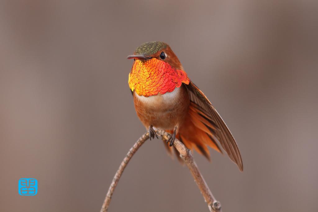 Allen's Hummingbird-112914