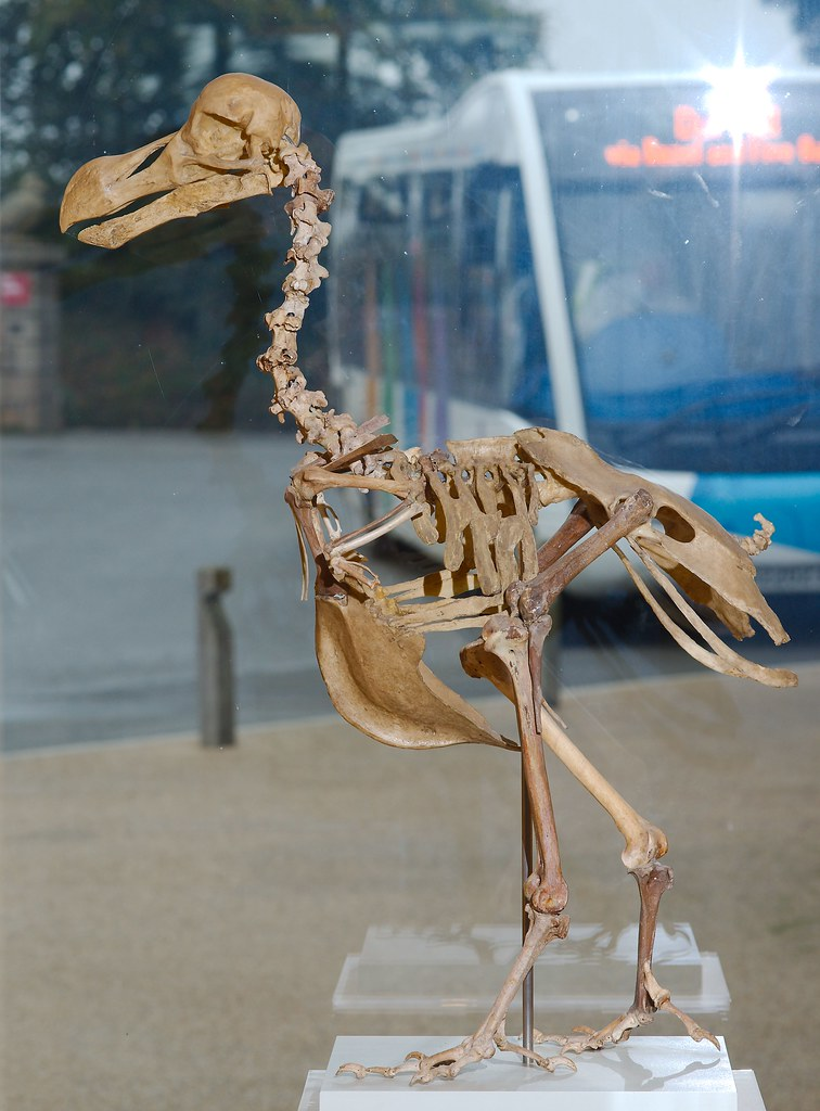 Dodo Skeleton_2
