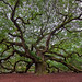 Angel Oak Tree by dwfphoto