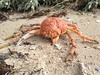 Spider Crab carapace