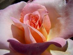 LA ROSE dans tous ses etats...1