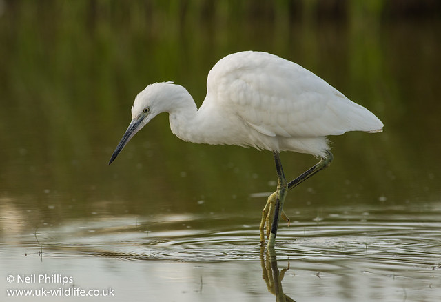 little egret-5